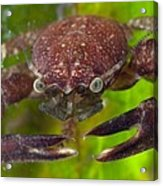 Porcelain Crab On Neptune Grass Acrylic Print by Science Photo Library