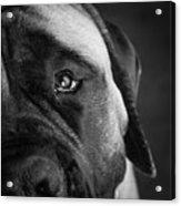 Portrait Of A Mastiff Acrylic Print