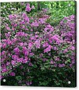 Purple Azaleas Acrylic Print