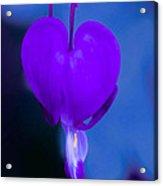 Purple Bleeding Heart Flower Acrylic Print