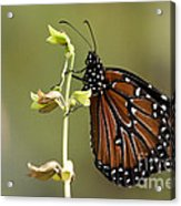 Queen Butterfly Acrylic Print
