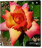 Rainbow Sorbet Rose Acrylic Print by Denise Mazzocco