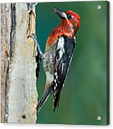 Red-breasted Sapsucker Acrylic Print
