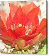 Red Cactus Flower Acrylic Print