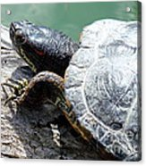 Red Eared Slider Acrylic Print