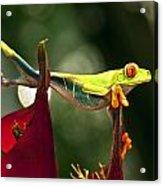 Red Eyed Tree Frog 1 Acrylic Print