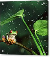 Red-eyed Tree Frog In The Rain Acrylic Print