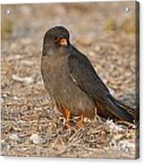 Red Footed Falcon Falco Vespertinus Acrylic Print