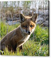 Red Fox Kit Acrylic Print