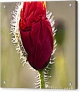Red Poppy Bud Acrylic Print