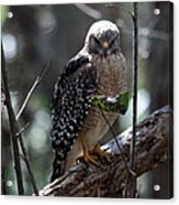 Red - Shouldered Hawk II Acrylic Print