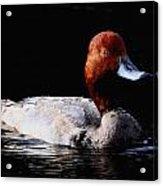 Redhead Duck Acrylic Print