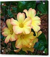 Rhododendron 'toff' Acrylic Print