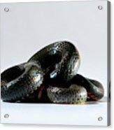 Ringneck Snake Diadophis Punctatus Acrylic Print