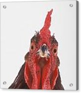 Rooster Acrylic Print by Thomas Kitchin & Victoria Hurst
