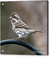 Rose Breasted Grosbeak Acrylic Print