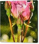 Rose Flower Acrylic Print