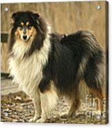 Rough Collie Dog Acrylic Print
