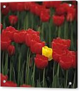 Rows Of Red Tulips With One Yellow Tulip Acrylic Print