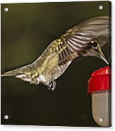 Ruby-throat Hummingbird Acrylic Print