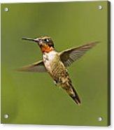 Ruby Throated Hummingbird In Flight Acrylic Print