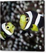 Saddleback Anemonefish Acrylic Print