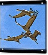 Sandhill Cranes In Flight Acrylic Print
