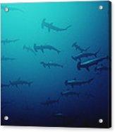 Scalloped Hammerhead Shark School Cocos Acrylic Print