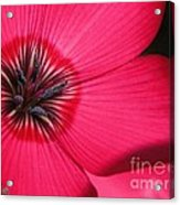 Scarlet Flax Acrylic Print