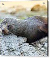 Sea Lion Acrylic Print