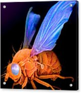 Sem Of A Fly Drosophila Acrylic Print