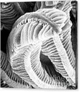 Sem Of Guppy Fish Gill Acrylic Print