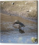 Shorebirds Acrylic Print