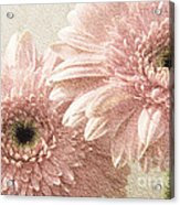 2 Silver Pink Painterly Gerber Daisies Acrylic Print