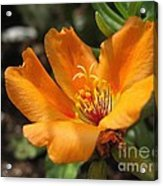 Single Portulaca Acrylic Print