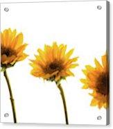 Small Sunflowers Or Helianthus Acrylic Print