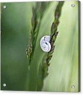 Snail On Grass Acrylic Print