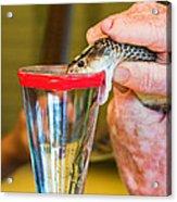 Snake Venom Extraction Acrylic Print