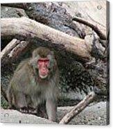 Snow Monkey Acrylic Print