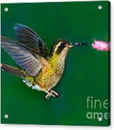 Speckled Hummingbird Acrylic Print