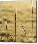 Spider Webs In Field On Tall Grass Acrylic Print