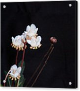 Spotted Wintergreen 3 Acrylic Print