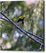 Spring Black-throated Green Warbler Acrylic Print