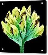 Suckling Clover (trifolium Dubium), Sem Acrylic Print
