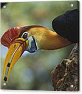 Sulawesi Red-knobbed Hornbill Male Acrylic Print