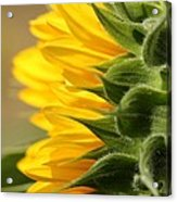 Sunflower From The Color Fashion Mix Acrylic Print