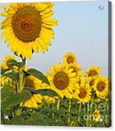 Sunflower Series Acrylic Print