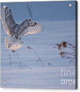 Sunlit Wings Acrylic Print