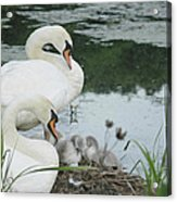 Swan Family Acrylic Print