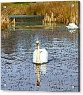 Swan In River In An  English Countryside Scene On A Cold Winter  Acrylic Print